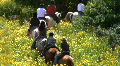 Horse pasture. Horses with riders go in one line HD Footage