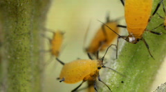 Oleander Aphids (Aphis nerii) - stock footage