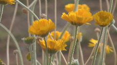 Desert Marigolds Stock Footage