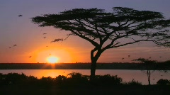 Birds fly through a beautiful sunset shot on the plains of Africa with acacia - stock footage