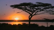 Stock Video Footage of Birds fly through a beautiful sunset shot on the plains of Africa with acacia