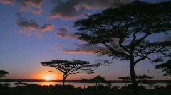 Birds fly at sunset near acacia trees on the savannah of Africa. Stock Footage