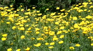 Clip Sequence. Yellow Flowers. Tomcars. Stock Footage