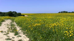Yellow flowers. Road next to the field.  Stock Footage