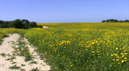 Stock Video Footage of Yellow flowers. Road next to the field.