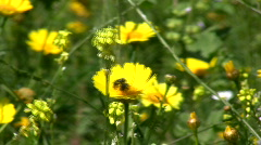 Yellow flowers. Zoom in on bugs. - stock footage