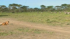 A female lioness watches a group of zebras intently. Stock Footage