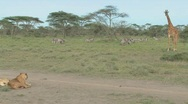 Stock Video Footage of A giraffe stands its ground against a female lion.