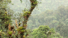 Stock Video Footage of Bromeliad laden tree in cloudforest