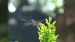 Dragonfly, Bali, Indonesia Stock Footage