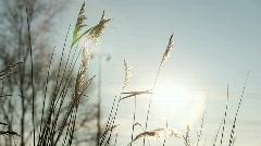 Waving grass in summer sun Stock Footage