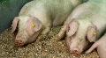 Pigs HD Footage