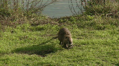 Stock Video Footage of Coypu 1