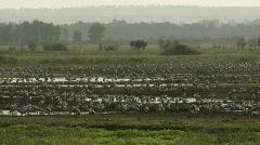Hula cranes 1 Stock Footage