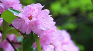 Stock Video Footage of Rhododendron in the rain