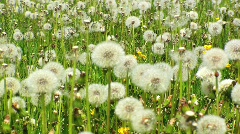 Dandelion/Blowball Meadow Stock Footage