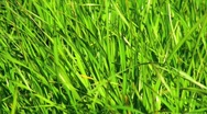 Stock Video Footage of Windy Grass