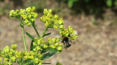 Insect bee on common rue,  ruta graveolens  H710002 020128 Stock Footage