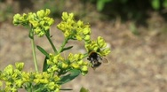 Stock Video Footage of insect bee on common rue,  ruta graveolens  H710002 020128