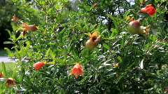 Pomegranate tropical plant blowing in the breeze  Stock Footage