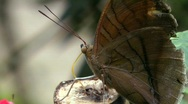 Stock Video Footage of Owl butterfly