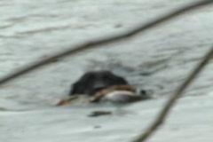 Black lab retrieves pheasant in water Stock Footage