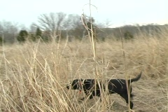 Black lab working Stock Footage