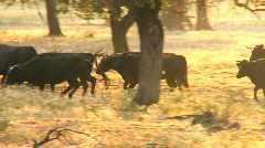 Stock Video Footage of Spanish Bulls
