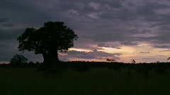 A beautiful timelapse of baobab trees in Tarangire park, Tanzania. Stock Footage