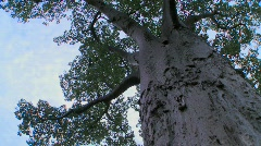 A low angle looking up into a majestic baobab tree in Tarangire National park, - stock footage