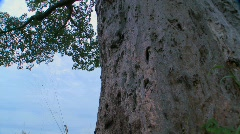 A low angle tilt up to the heights of a majestic baobab tree in Tarangire, - stock footage