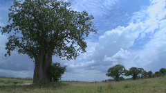 Beautiful time lapse shots of clouds moving behind majestic baobab tree in Stock Footage