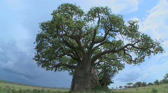 A slow zoom into a baobab tree on the plains of Tarangire, Tanzania. - stock footage