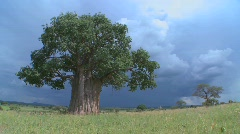 A baobab tree in Tarangire Park against a threatening sky. - stock footage