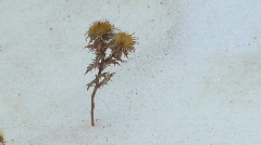 Withered plant - stock footage