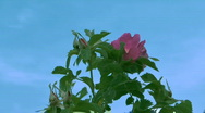 Roses. Stock Footage