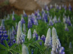 Blue Flower Pods Stock Footage