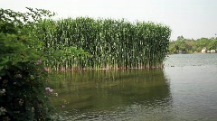 Reed in the lake Stock Footage