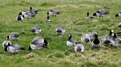 Barnacle geese Stock Footage