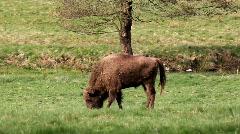 Bison bonasus grazing  Stock Footage