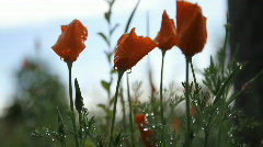 Poppies flower 5787B HD Stock Footage