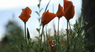 Stock Video Footage of Poppies flower 5787B HD