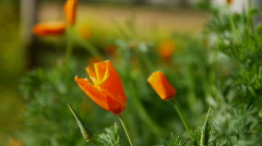 Poppies 5785 HD Stock Footage