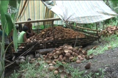 Coconut Harvest  in Filipino Jungle Stock Footage