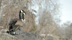 Canadian Geese in Idaho 02 Stock Footage