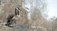 Stock Video Footage of Canadian Geese in Idaho 02
