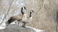 Stock Video Footage of Canadian Geese in Idaho 04