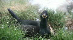 Nesting Shag Stock Footage