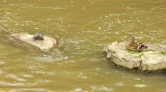 Turtle and Duck - stock footage