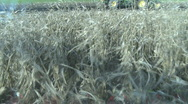 Harvesting corn as viewed from cab Stock Footage